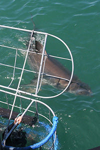 Great white shark cage diving in South Africa is an exciting activity for anyone, regardless of age or previous experience.