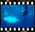 Whale shark diving in Mozambique.