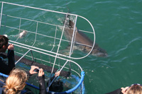 White shark cage diving